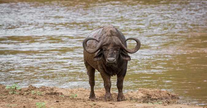 Buffalo by the Olifants River