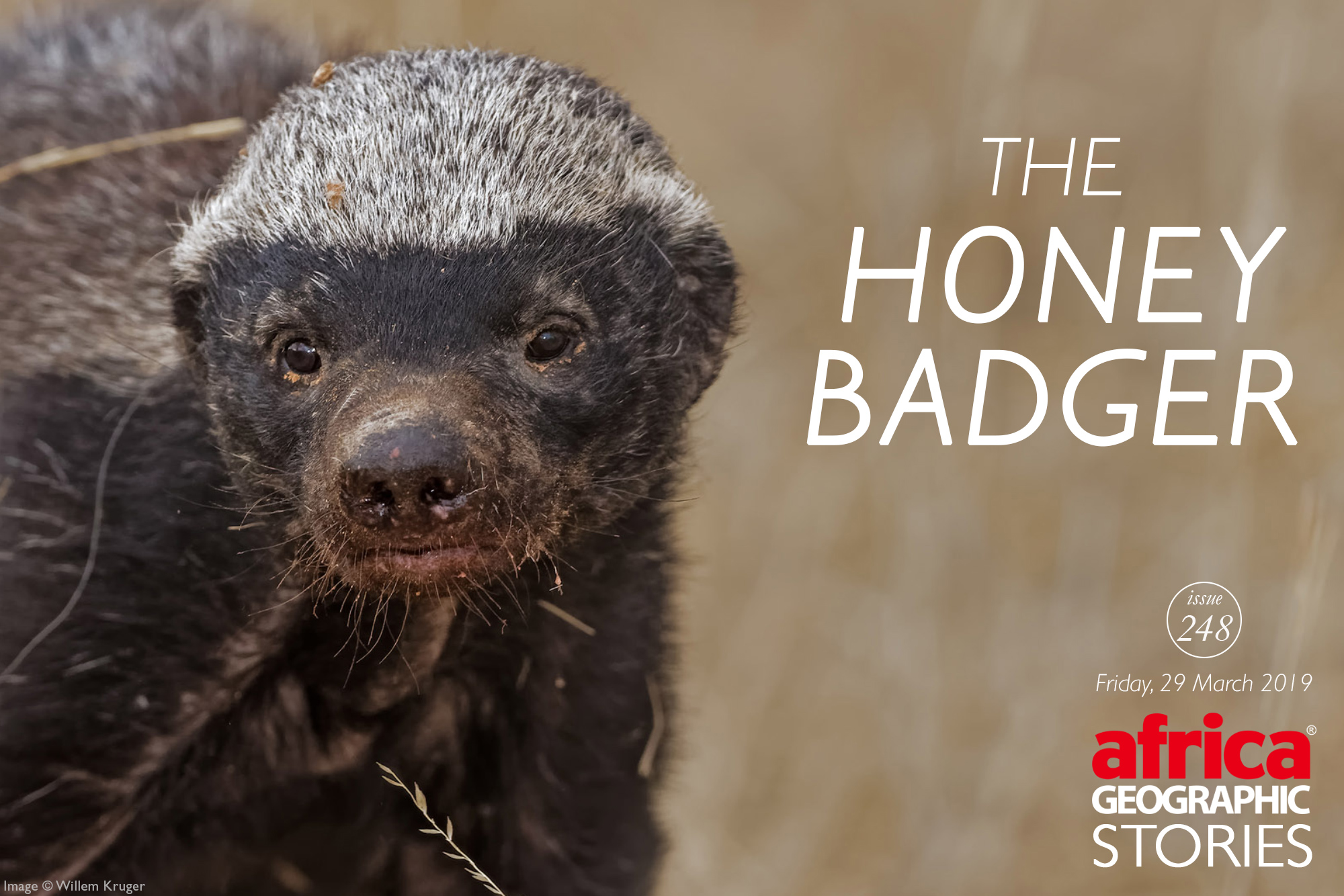 The Honey Badger Africa Geographic