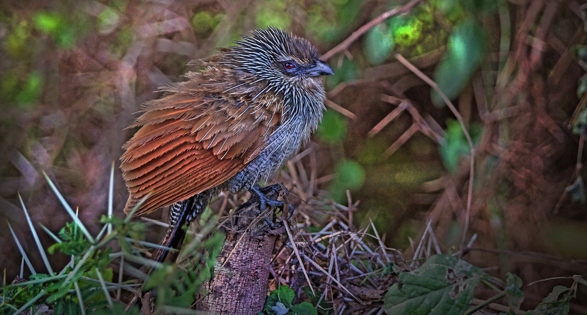 A white-browed coucal fledgling spotted in the swamps of Amboseli National Park, Kenya © Tim Nicklin