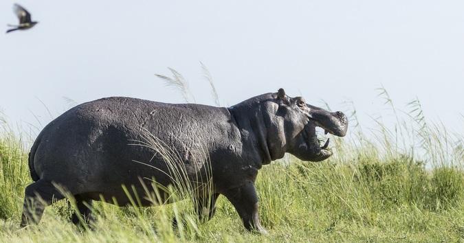 Hippo walking on land