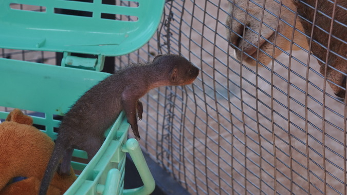 Baby banded mongoose and goat