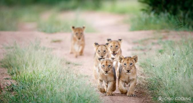 Lion cubs, Greater Kruger