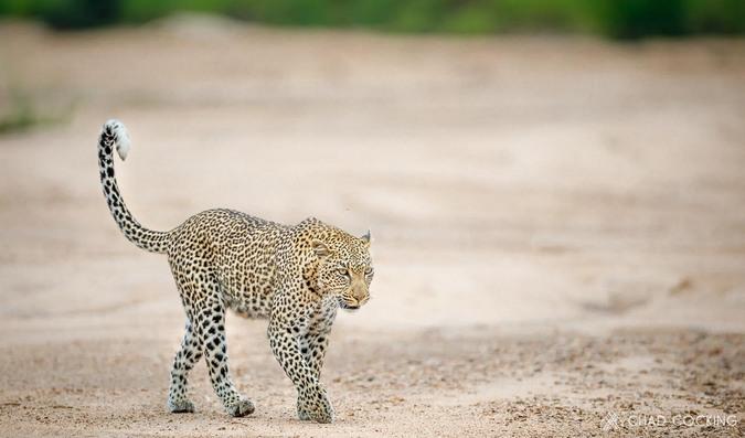 Leopard walking, Greater Kruger