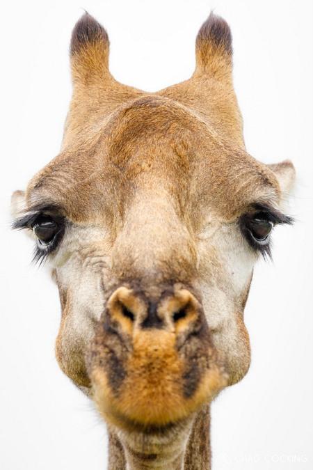 Giraffe, Greater Kruger