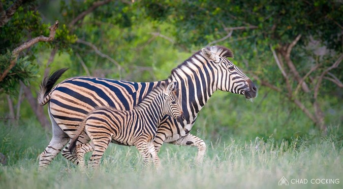Zebra and foal, Greater Kruger