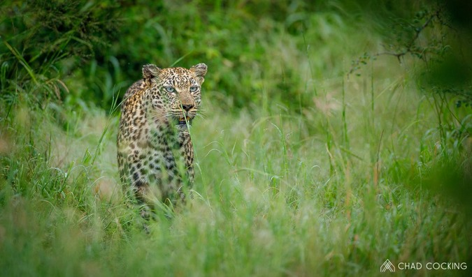 Leopard, Greater Kruger