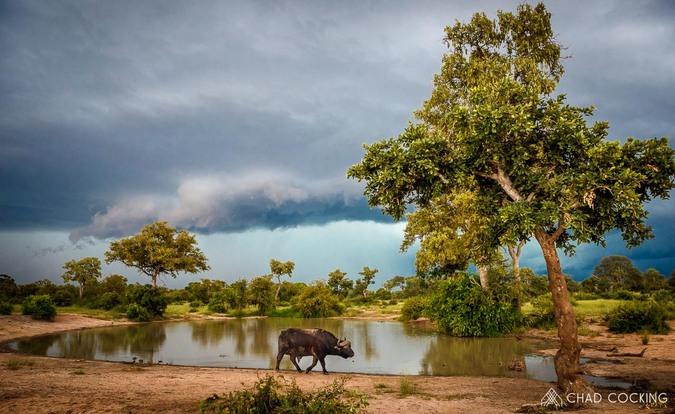 Buffalo by waterhole, Greater Kruger