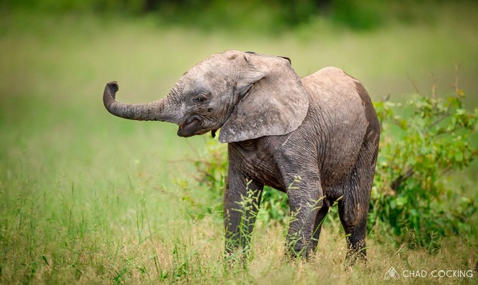 Elephant calf, Greater Kruger
