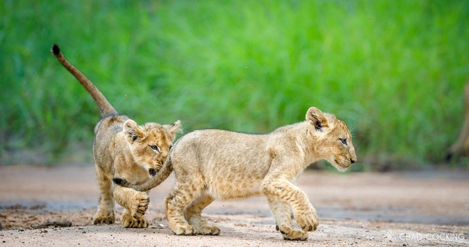 Lion cubs playing, Greater Kruger