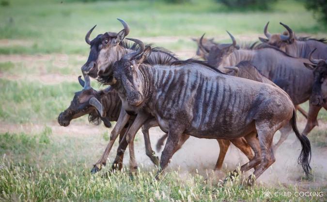 Wildebeest, Greater Kruger
