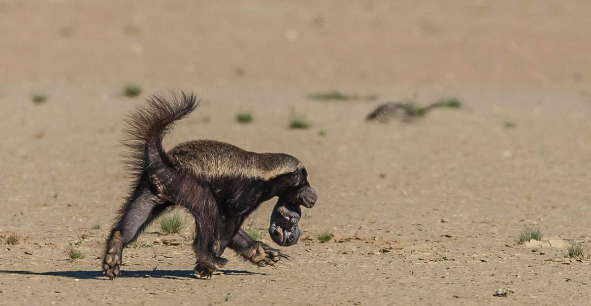 Honey badger with baby in her mouth