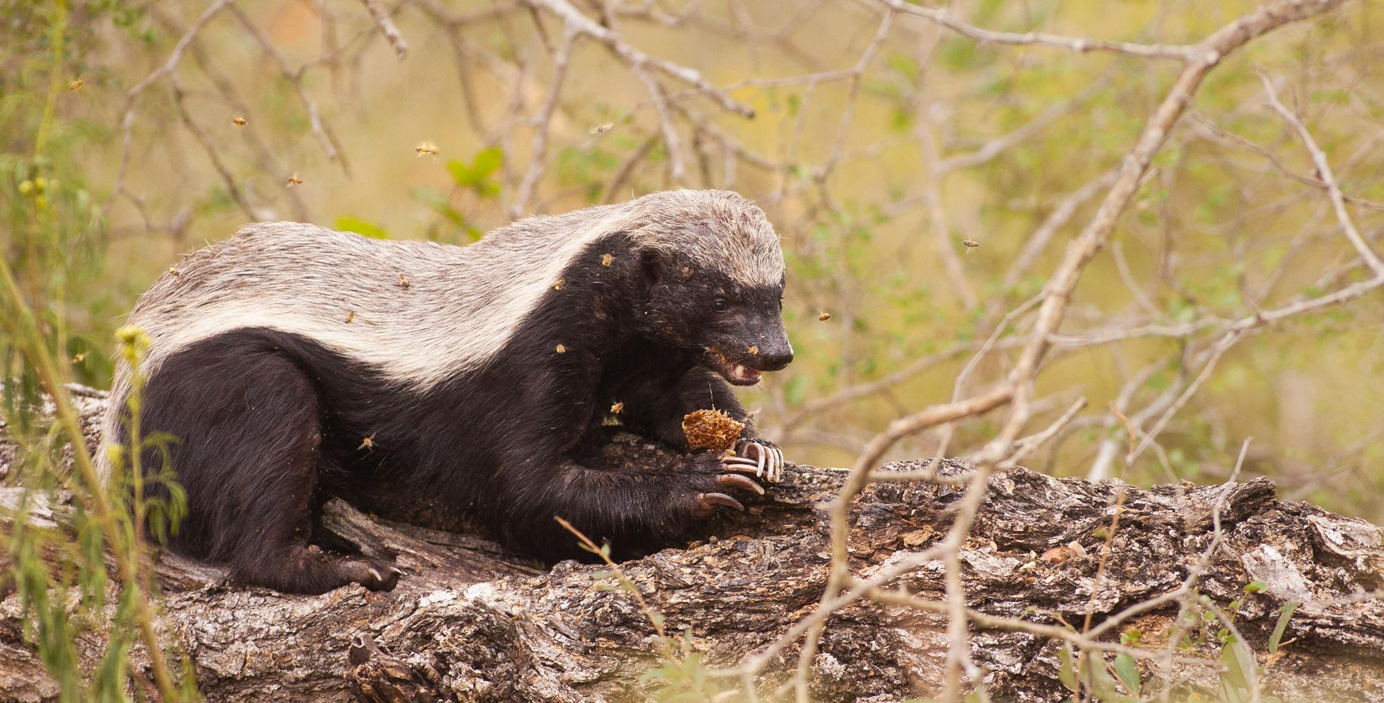 Honey badger eating honey comb