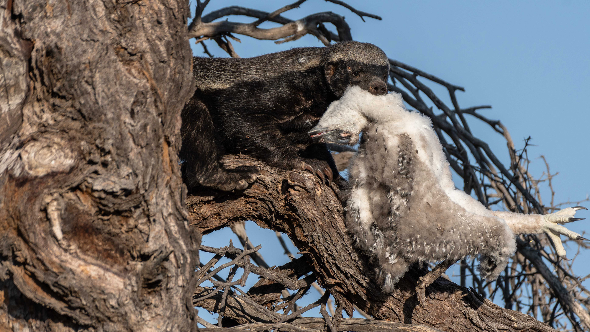 A honey badger snatches a martial eagle chick from a nest in the Kgalagadi Transfontier Park