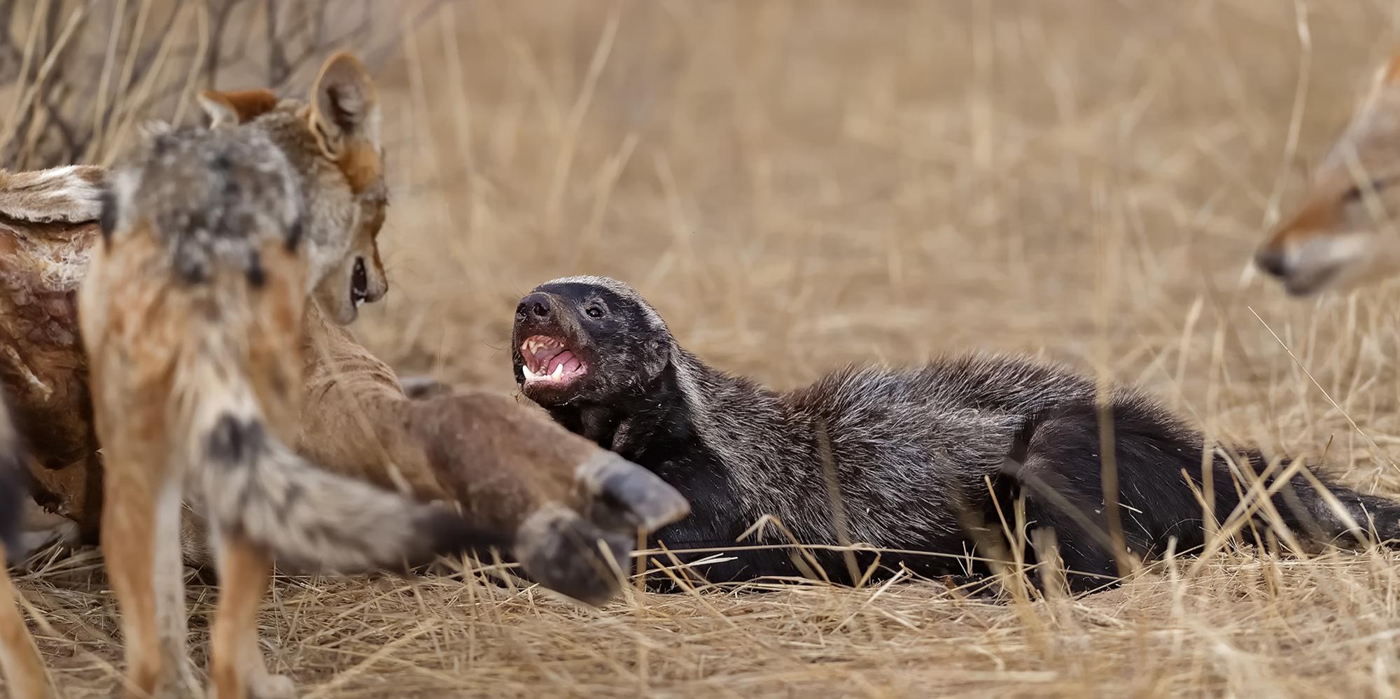 Black-backed jackals and honey badger at giraffe carcass