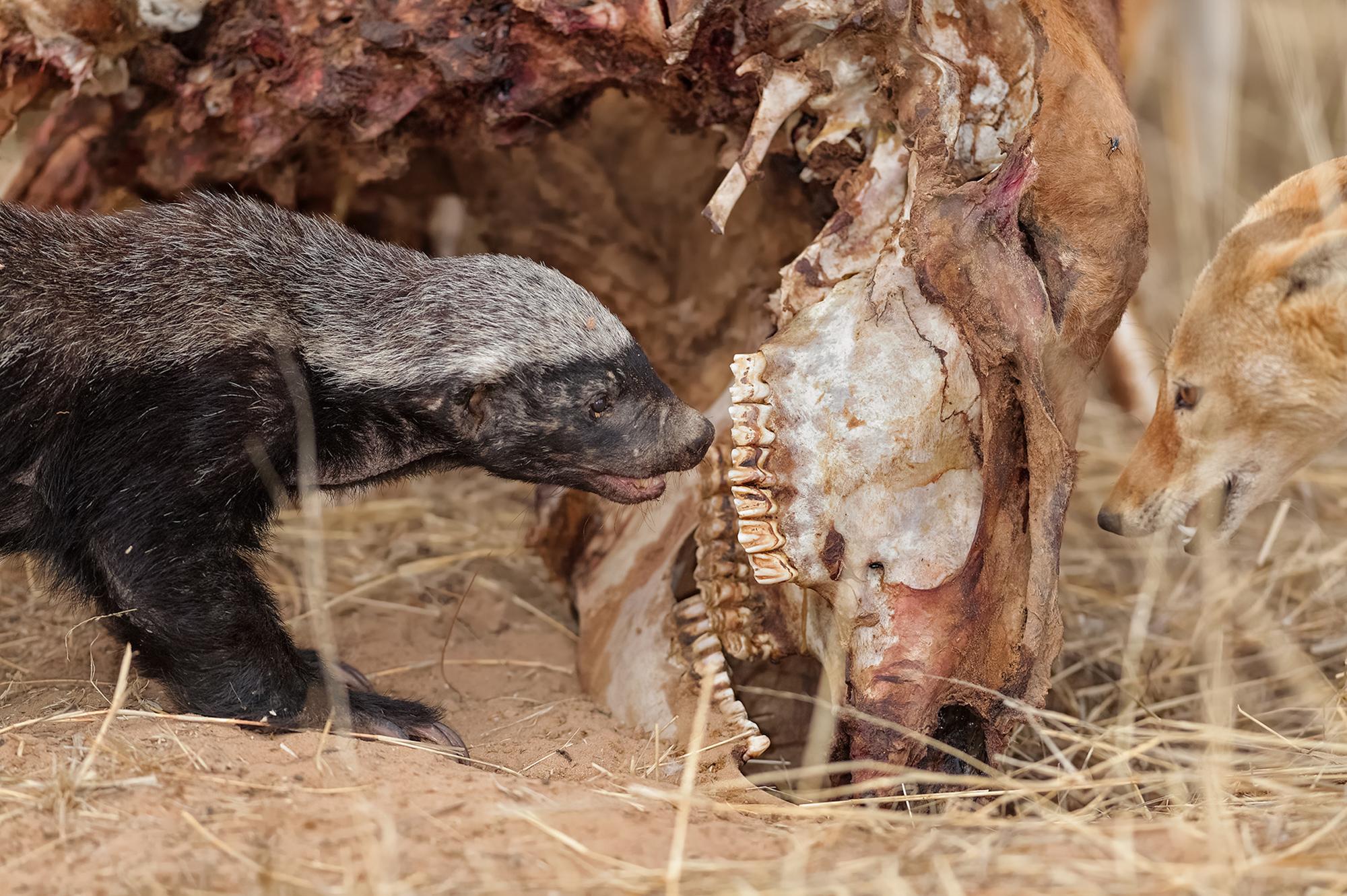 Honey badger and black-backed jackal