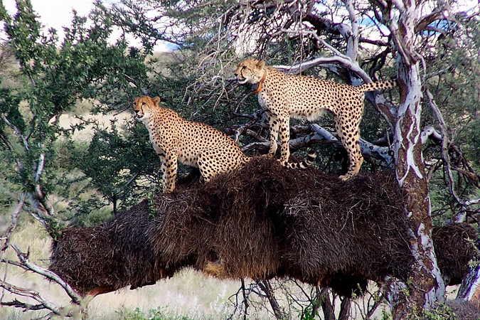 Two cheetahs in weavers nest