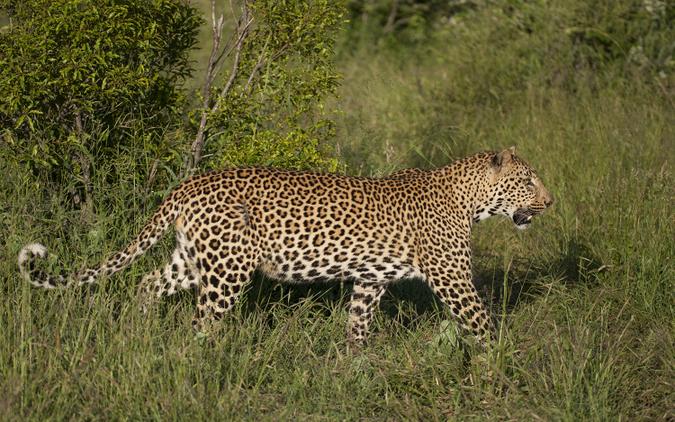 Young male leopard walking