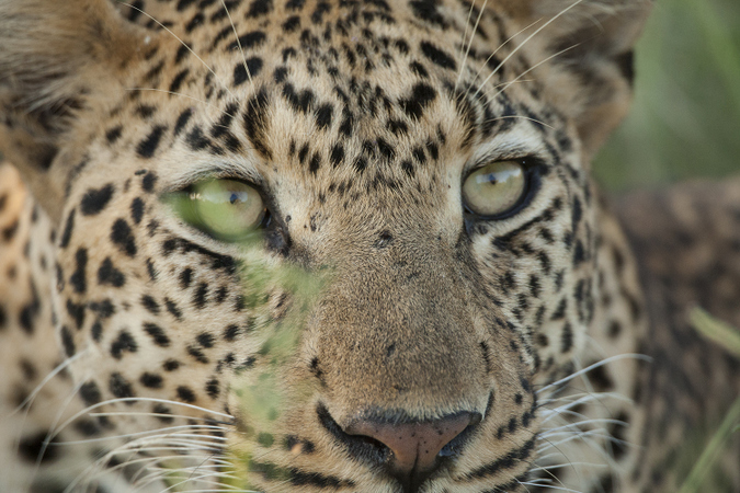 Close up of young male leopard