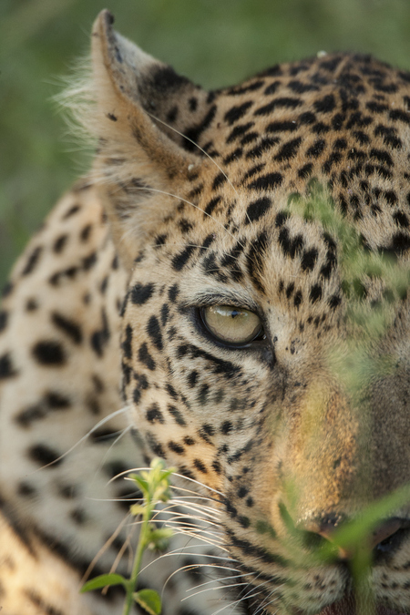 Young male leopard close up