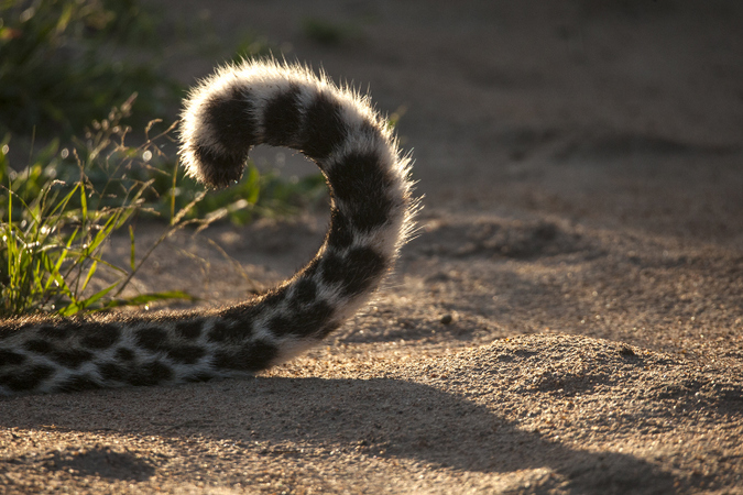 Tail of young male leopard