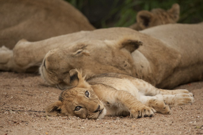 Lion cub and adults resting in the shade