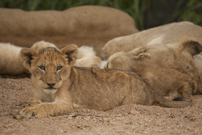 Lion cub and adult resting