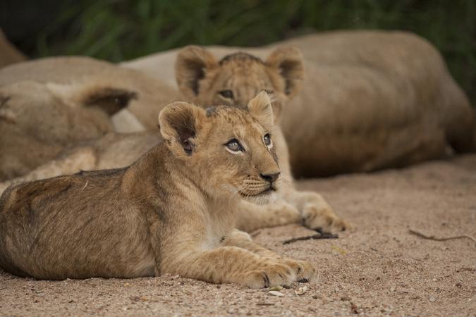 Attentive lion cub