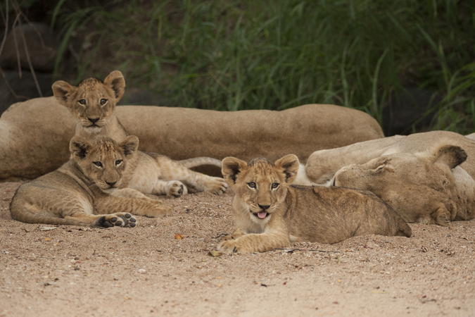 Lion pride with cubs