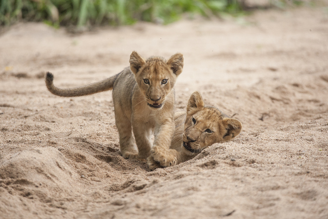 Lion cub playing with sibling