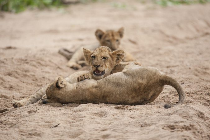 Lions cubs playing in the sand