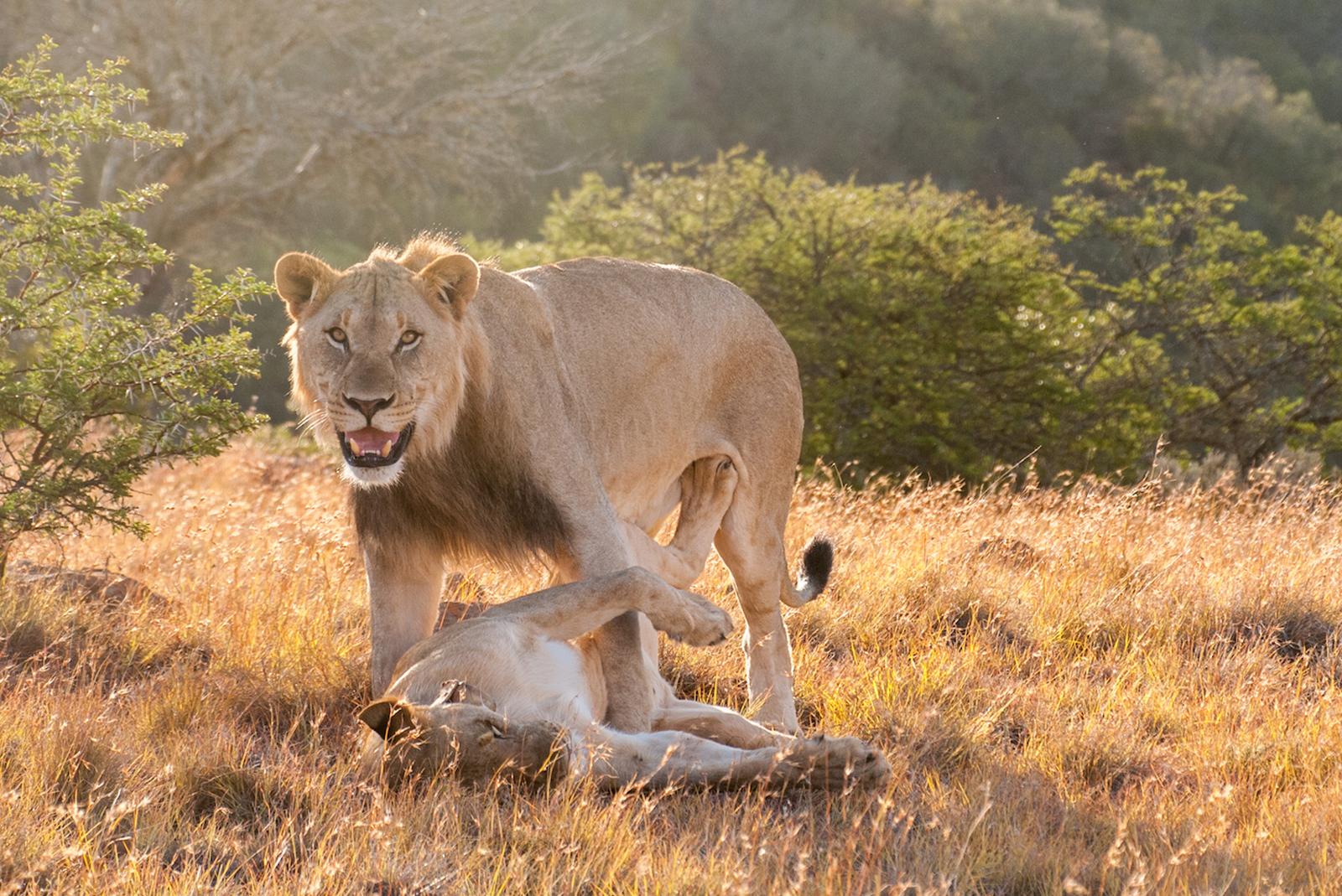Lion and lioness in Samara