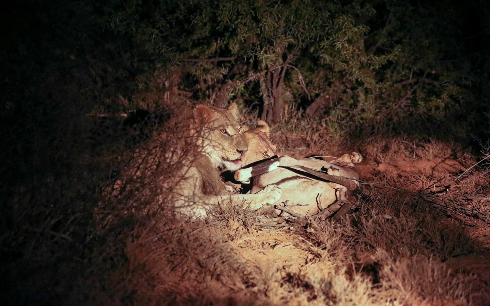 Lion and lioness eating gemsbok