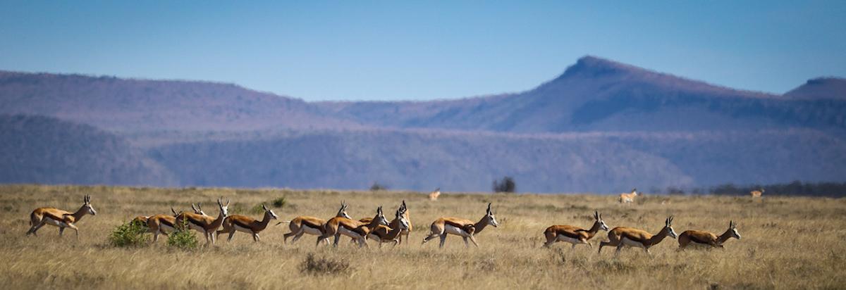 Springbok in Samara Private Game Reserve