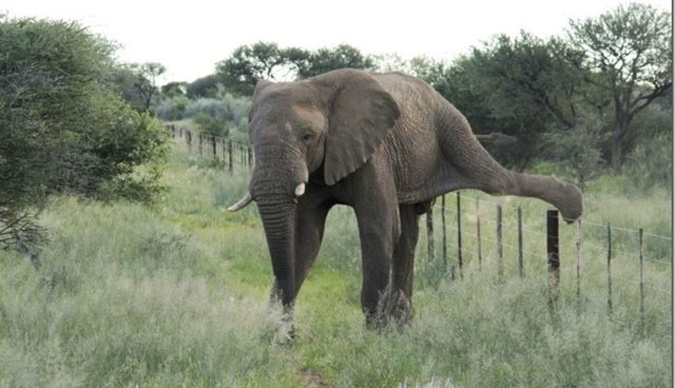 Elephant climbing over fence