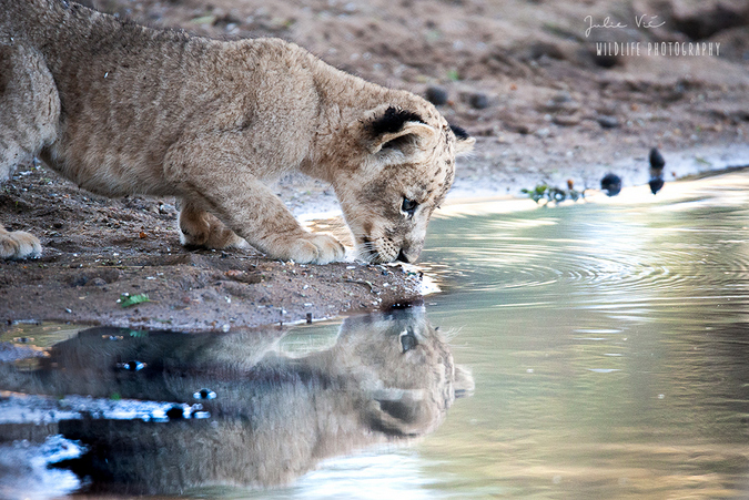 The wandering female cub was seen drinking during her 10-day adventure © Julie Vie