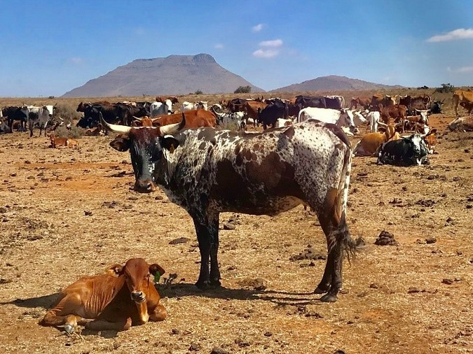 Nguni cow in the Karoo