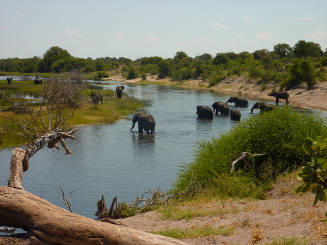 Elephant herd at river