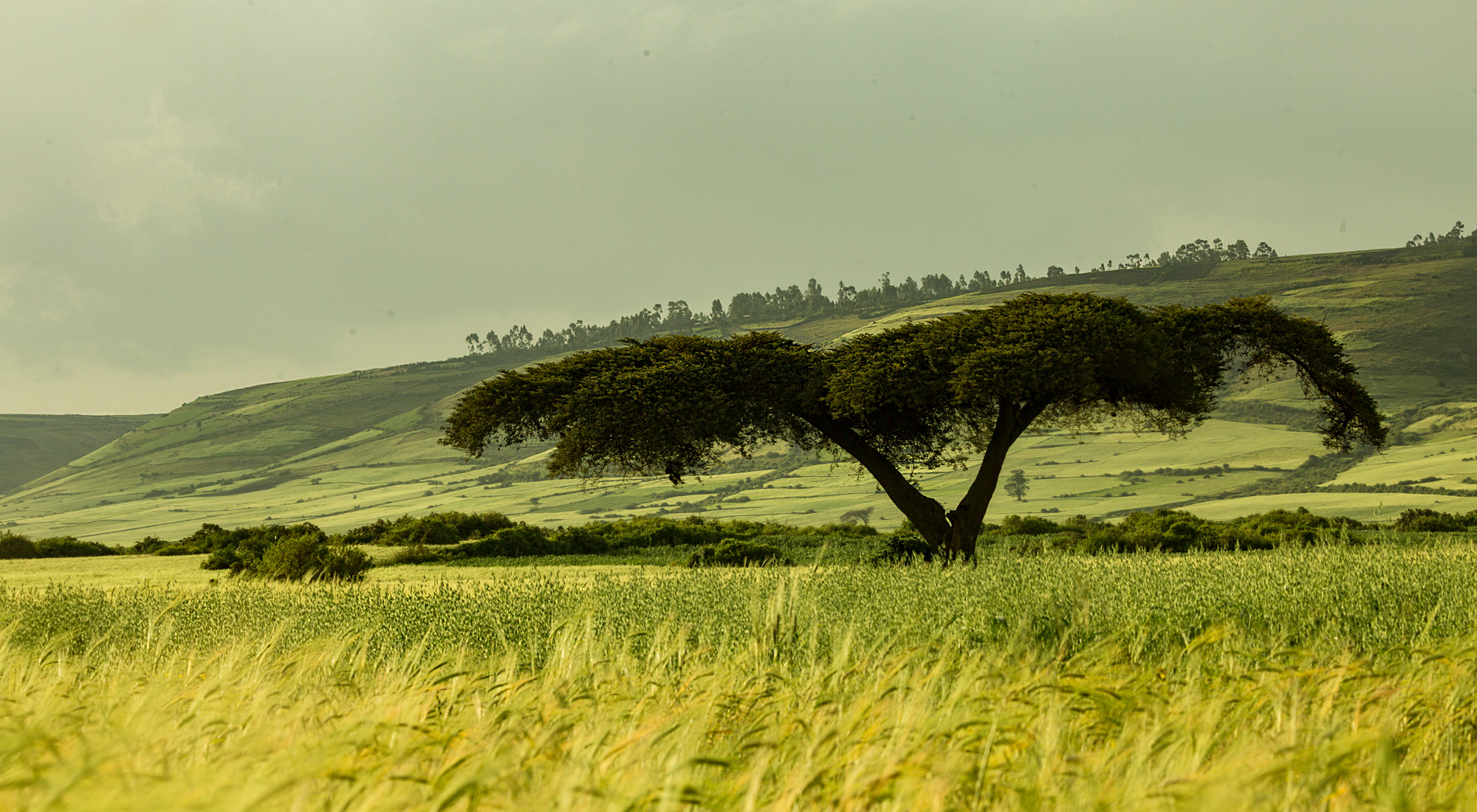 A stunning capture of Ethiopia's landscape with wheat fields © Christian Boix