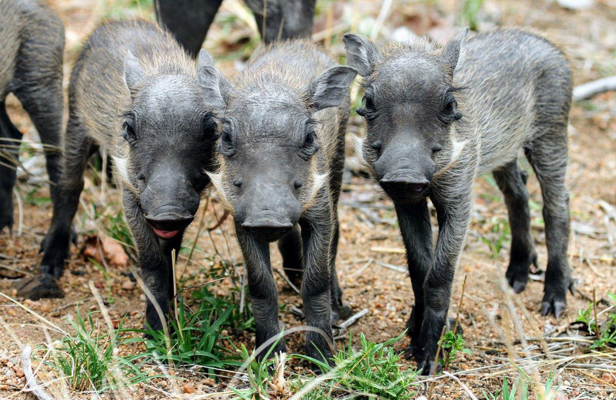 A trio of friendly warthog piglets outside Mopani camp in Kruger National Park, South Africa © Alfred Mark Watts