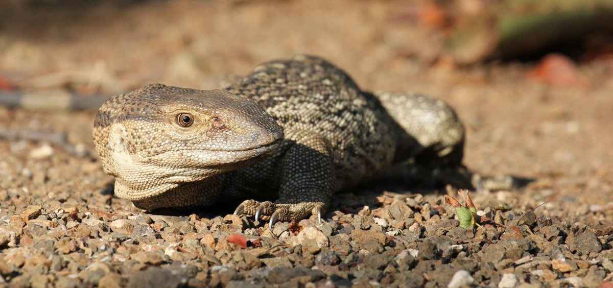 A cautious rock monitor passes by Shingwedzi Camp in Kruger National Park, South Africa © Alfred Mark Watts