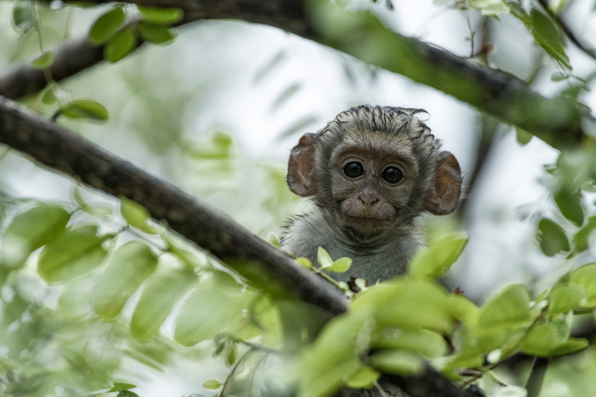 A baby vervet monkey hides in a tree during a heavy rain shower in Hluhluwe–Imfolozi Park, South Africa © Alice van Kempen