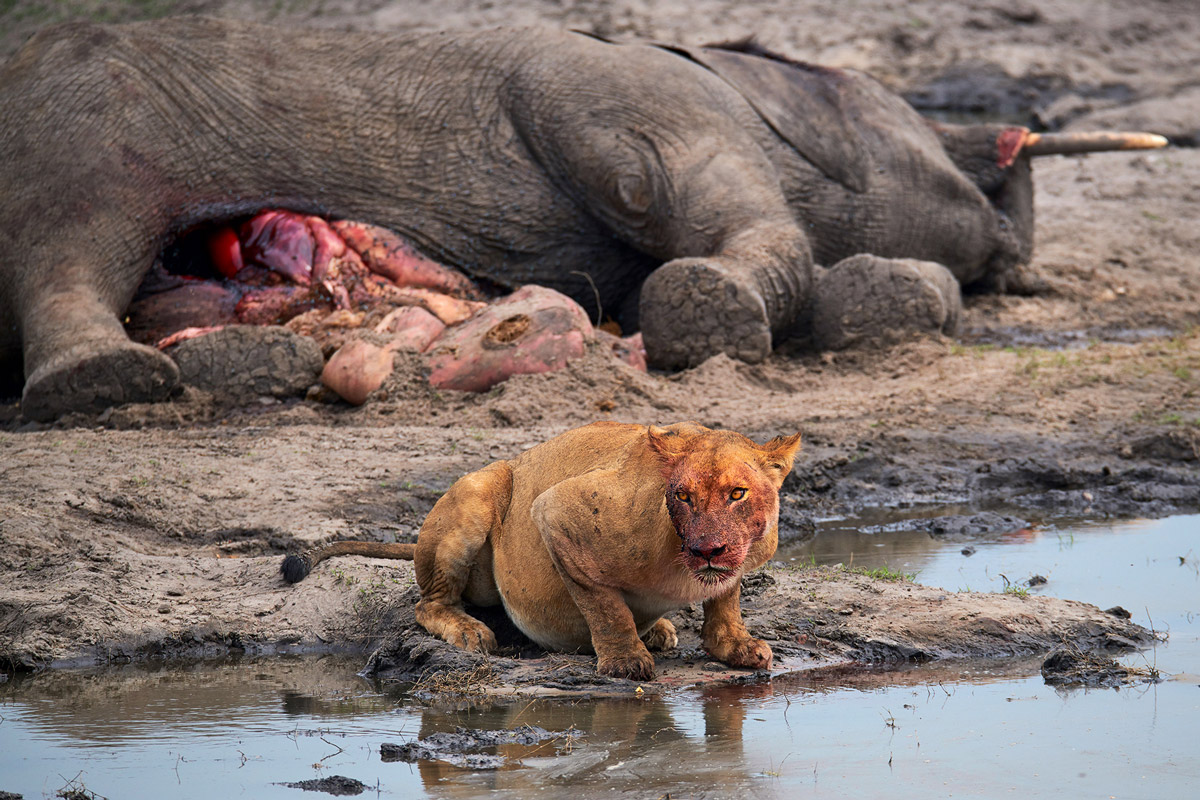 A lioness takes a drink after gorging on an elephant carcass in Chobe National Park, Botswana © Andrea Marzorati