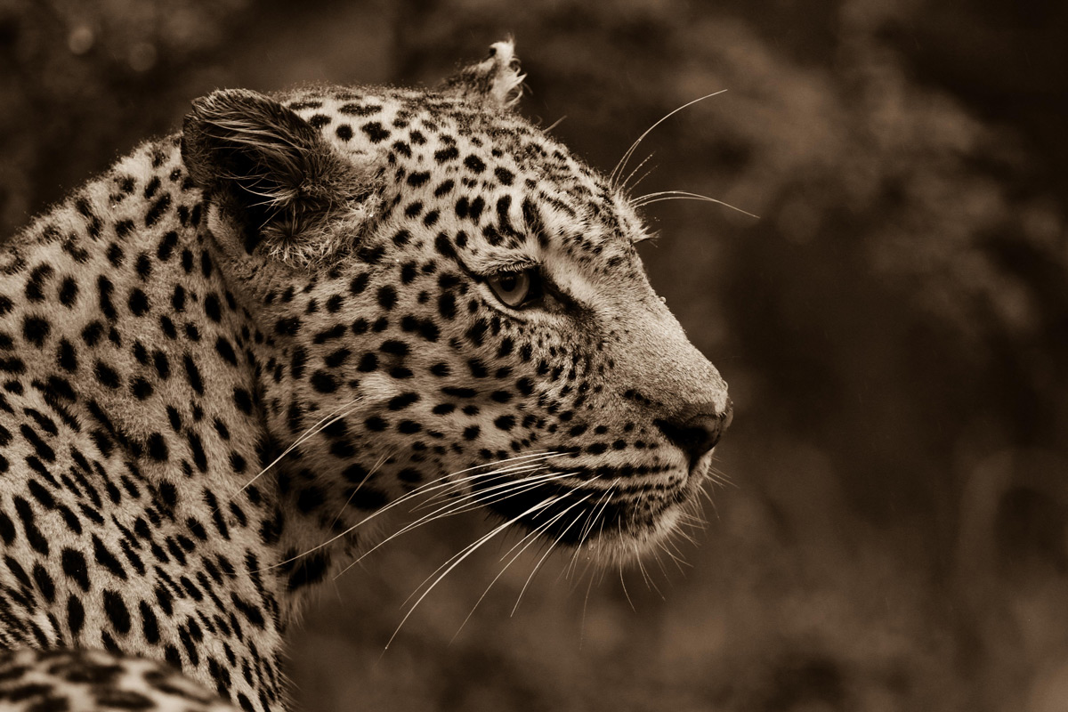 A leopardess on the hunt on a rainy morning in Sabi Sands Private Game Reserve, South Africa © Anna-Carina Nagel