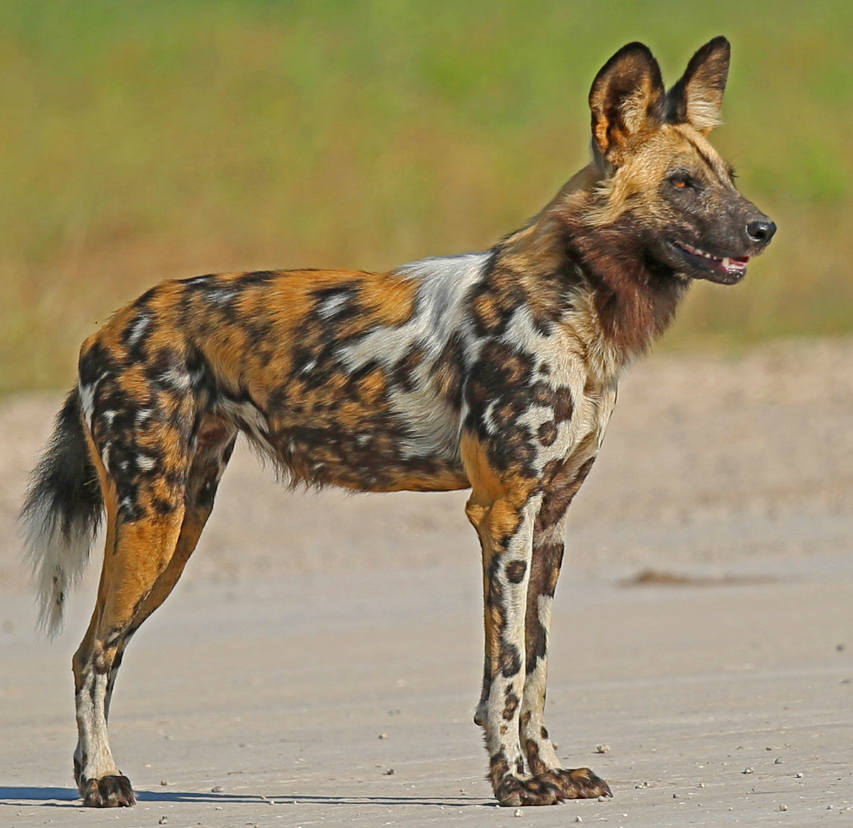 A painted wolf (African wild dog) with an unusually beautiful coat in Okavango Delta, Botswana © Anthony Goldman