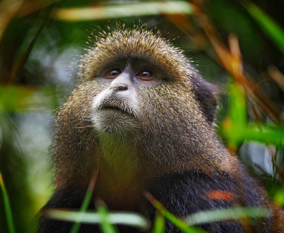 A golden monkey seemingly ponders the meaning of life in Virunga National Park, Democratic Republic of the Congo © Brad Love