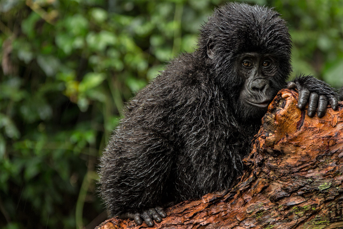 A young mountain gorilla from the Nkuringo family group waits out the rain shower in Bwindi Impenetrable National Park, Uganda © Bruce Miller