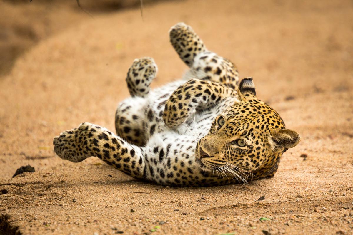 A female leopard rolls around in a dry riverbed in Sabi Sands Private Game Reserve, South Africa © Caleb Shepard