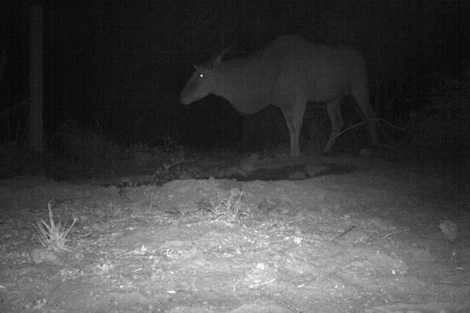 Camera trap image of eland bull