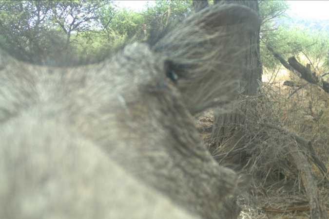 Camera trap image of curious warthog