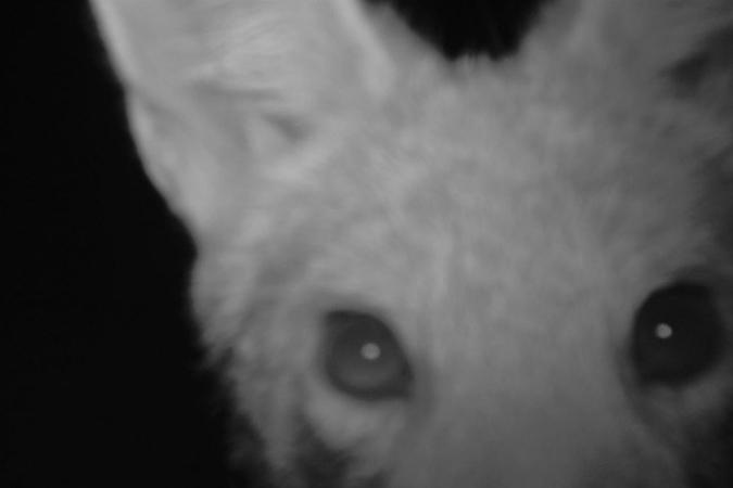 Camera trap image of black-backed jackal